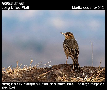 Anthus similis - Long-billed Pipit