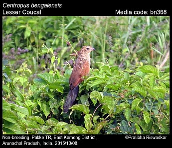 Centropus bengalensis - Lesser Coucal
