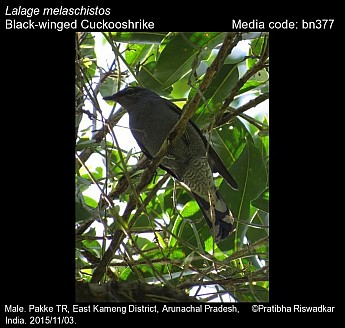 Lalage melaschistos - Black-winged Cuckooshrike