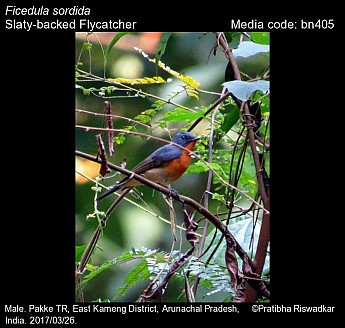 Ficedula sordida - Slaty-backed Flycatcher