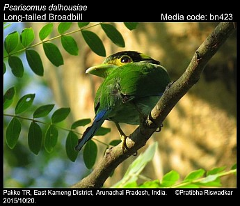 Psarisomus dalhousiae - Long-tailed Broadbill