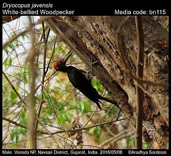 Dryocopus javensis - White-bellied Woodpecker