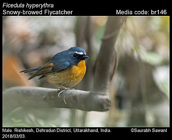 Ficedula hyperythra