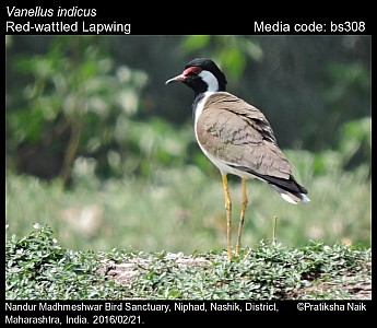 Vanellus indicus - Red-wattled Lapwing