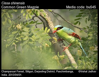 Cissa chinensis - Common Green Magpie