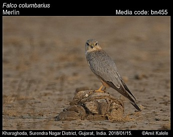 Falco columbarius