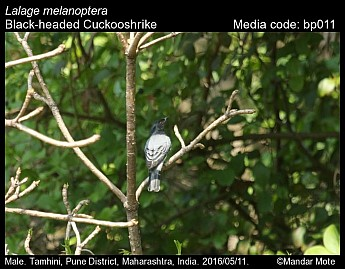 Lalage melanoptera - Black-headed Cuckooshrike