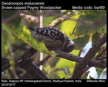 Dendrocopos nanus - Brown-capped Pygmy Woodpecker