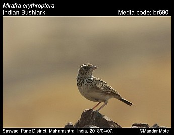 Mirafra erythroptera - Indian Bushlark