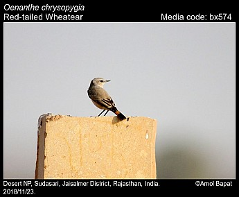 Oenanthe chrysopygia - Red-tailed Wheatear