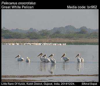 Pelecanus onocrotalus - Great White Pelican