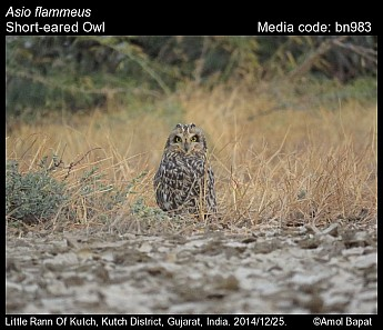 Asio flammeus - Short-eared Owl