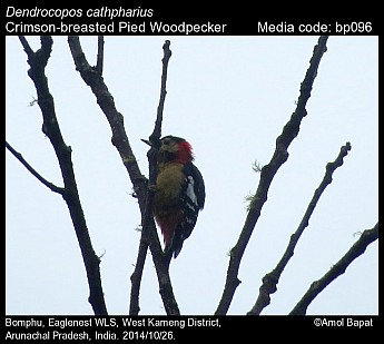 Dendrocopos cathpharius - Crimson-breasted Pied Woodpecker