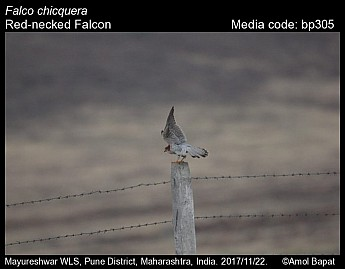 Falco chicquera - Red-necked Falcon