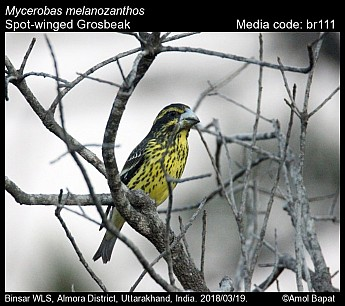 Mycerobas melanozanthos - Spot-winged Grosbeak