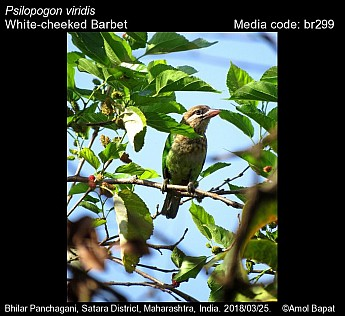 Psilopogon viridis - White-cheeked Barbet
