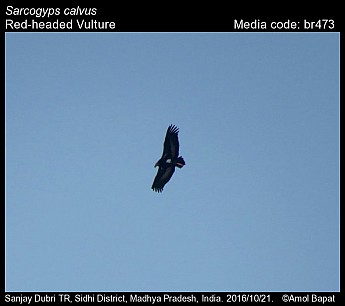 Sarcogyps calvus - Red-headed Vulture
