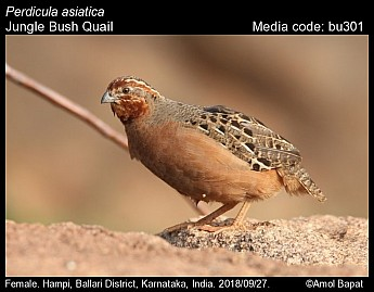 Perdicula asiatica - Jungle Bush Quail
