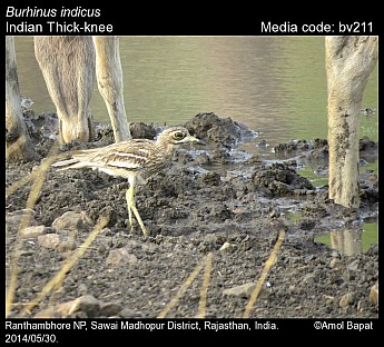 Burhinus indicus - Indian Thick-knee