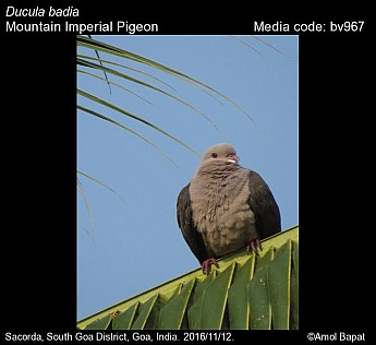 Ducula badia - Mountain Imperial Pigeon