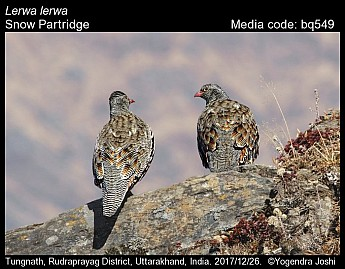 Lerwa lerwa - Snow Partridge