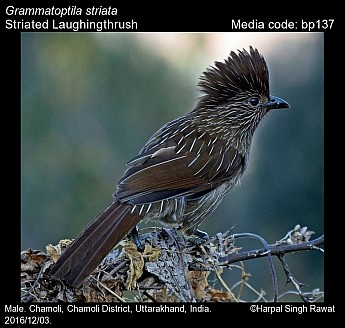 Grammatoptila striata - Striated Laughingthrush