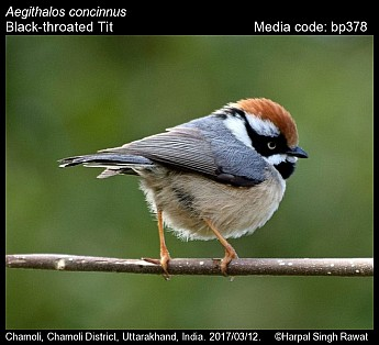 Aegithalos concinnus - Black-throated Tit