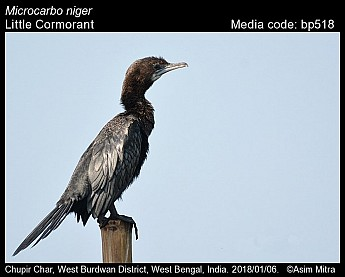 Microcarbo niger - Little Cormorant