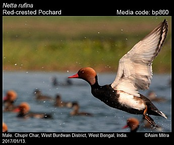 Netta rufina - Red-crested Pochard