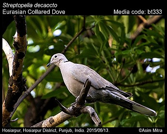 Streptopelia decaocto - Eurasian Collared Dove