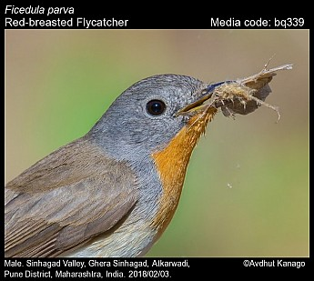 Ficedula parva - Red-breasted Flycatcher