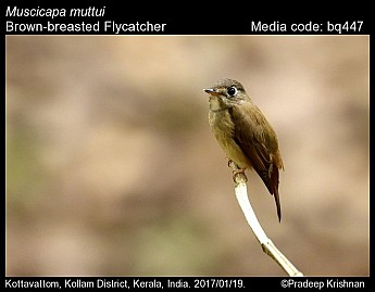 Muscicapa muttui - Brown-breasted Flycatcher