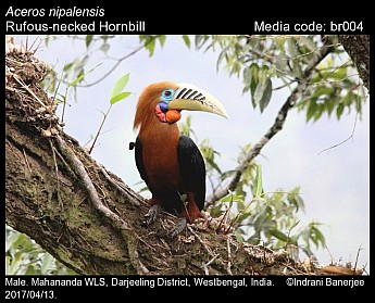 Aceros nipalensis - Rufous-necked Hornbill