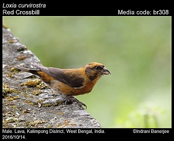 Loxia curvirostra - Red Crossbill