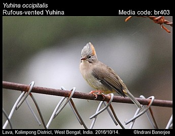 Yuhina occipitalis