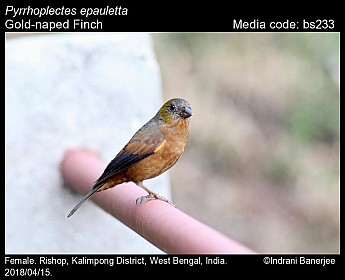 Pyrrhoplectes epauletta - Gold-naped Finch