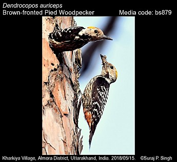 Dendrocopos auriceps - Brown-fronted Pied Woodpecker