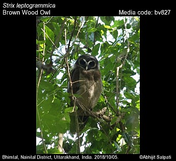 Strix leptogrammica - Brown Wood Owl