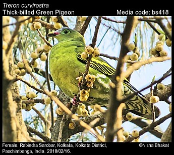 Treron curvirostra - Thick-billed Green Pigeon