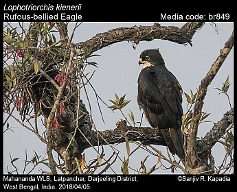 Lophotriorchis kienerii - Rufous-bellied Eagle