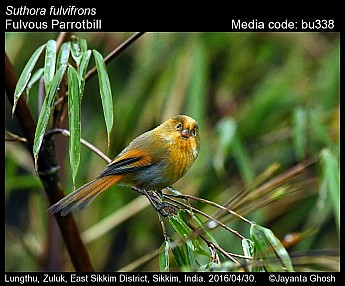 Suthora fulvifrons - Fulvous Parrotbill