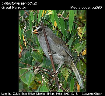 Conostoma aemodium - Great Parrotbill
