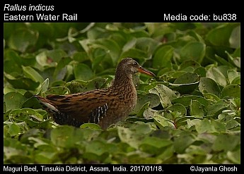 Rallus indicus - Eastern Water Rail