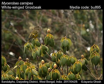 Mycerobas carnipes - White-winged Grosbeak