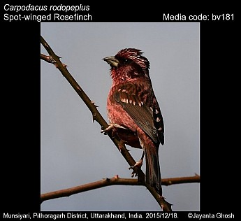 Carpodacus rodopeplus - Spot-winged Rosefinch