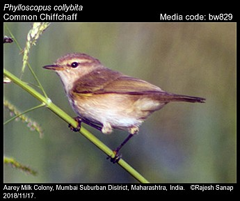 Phylloscopus collybita - Common Chiffchaff