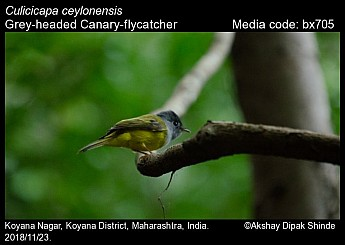 Culicicapa ceylonensis - Grey-headed Canary-flycatcher