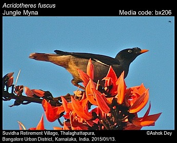 Acridotheres fuscus - Jungle Myna