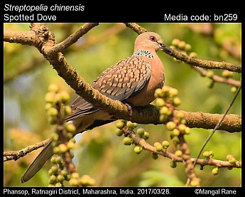 Streptopelia chinensis - Spotted Dove