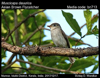 Muscicapa dauurica - Asian Brown Flycatcher